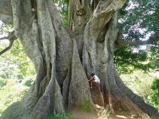 Árbol más grande de Cabo Verde