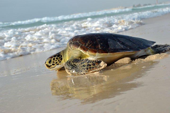 Tortugas de Isla Boavista